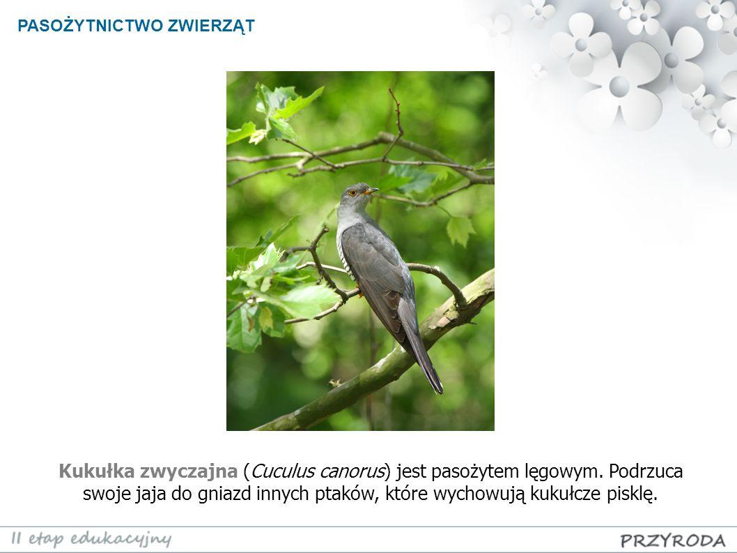 PASOŻYTNICTWO ZWIERZĄT Kukułka zwyczajna (Cuculus canorus) jest pasożytem lęgowym. Podrzuca swoje jaja do gniazd innych ptaków, które wychowują kukułc
