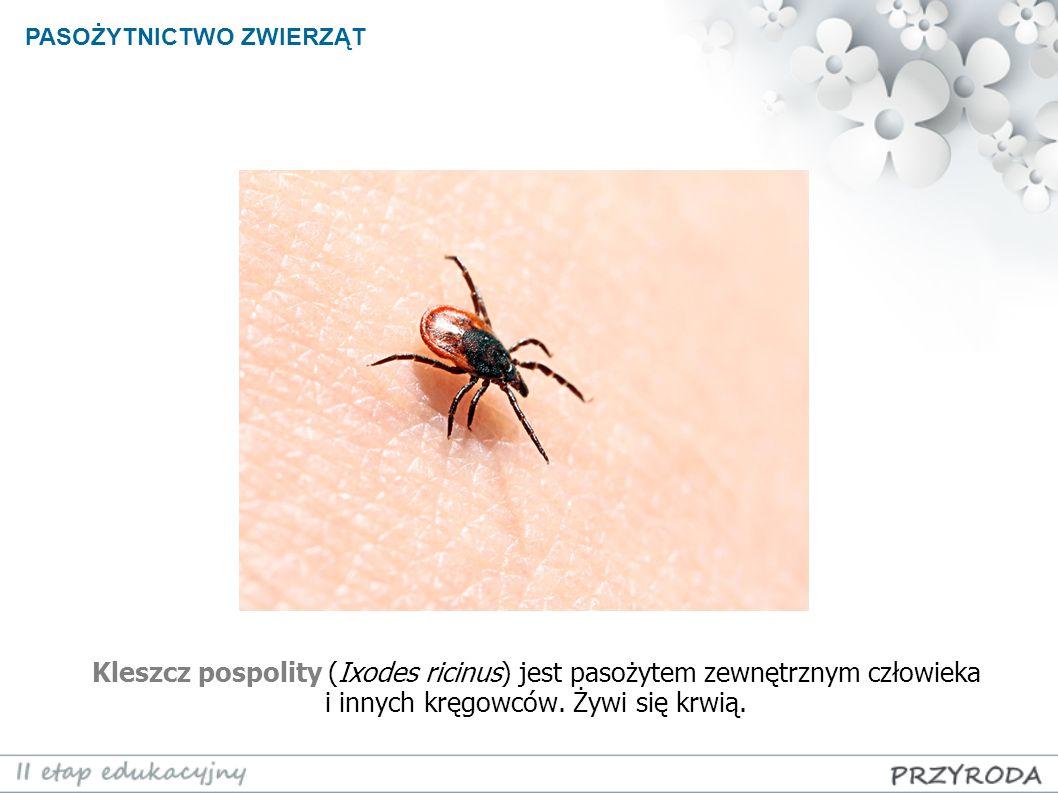 Kleszcz pospolity (Ixodes ricinus) jest pasożytem zewnętrznym człowieka i innych kręgowców. Żywi się krwią. PASOŻYTNICTWO ZWIERZĄT
