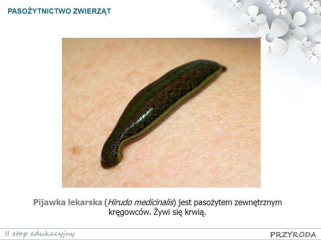 Pijawka lekarska (Hirudo medicinalis) jest pasożytem zewnętrznym kręgowców. Żywi się krwią.