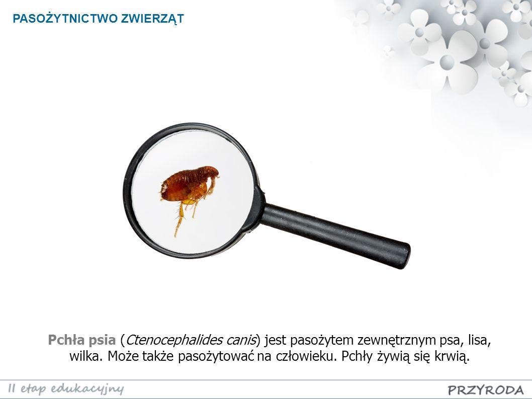 PASOŻYTNICTWO ZWIERZĄT Pchła psia (Ctenocephalides canis) jest pasożytem zewnętrznym psa, lisa, wilka. Może także pasożytować na człowieku. Pchły żywi