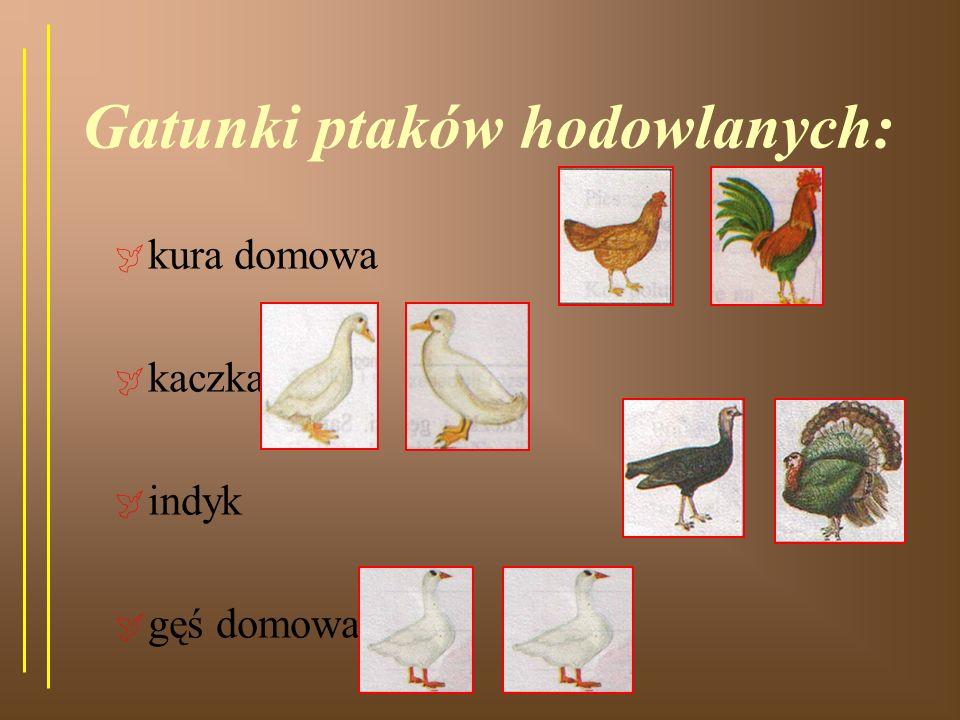 Gatunki ptaków hodowlanych: kura domowa kaczka indyk gęś domowa