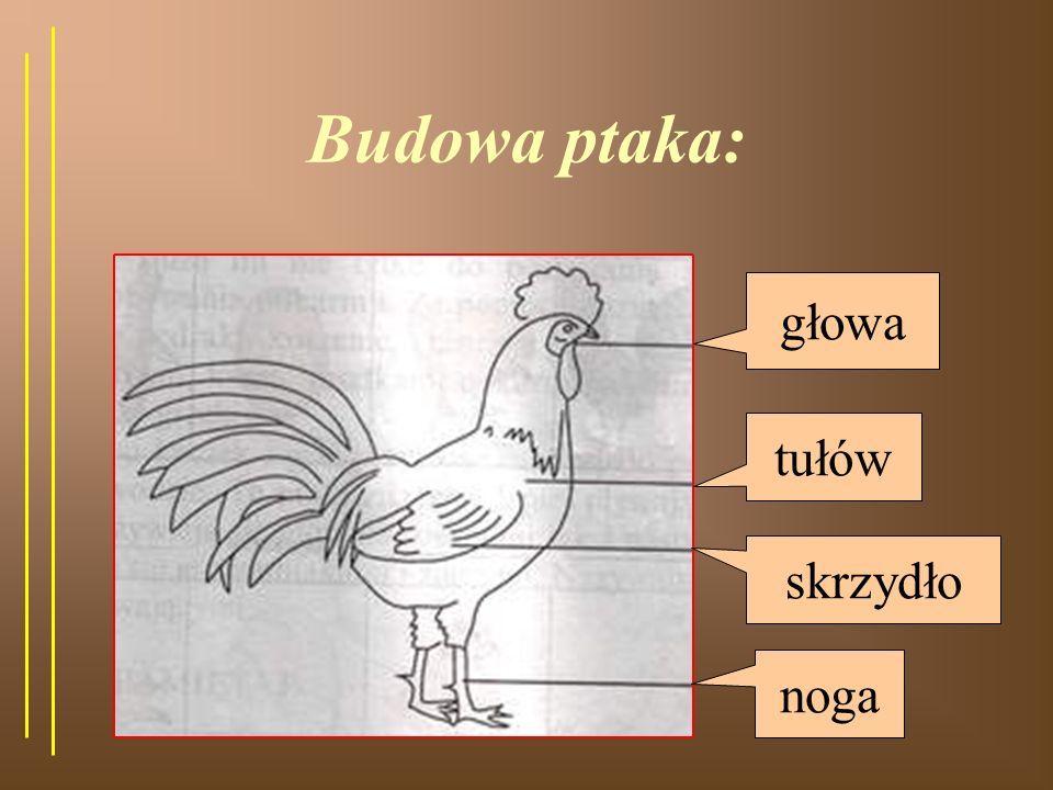 Pokrycie ciała: Ptaki to zwierzęta, których ciało pokryte jest piórami i puchem.