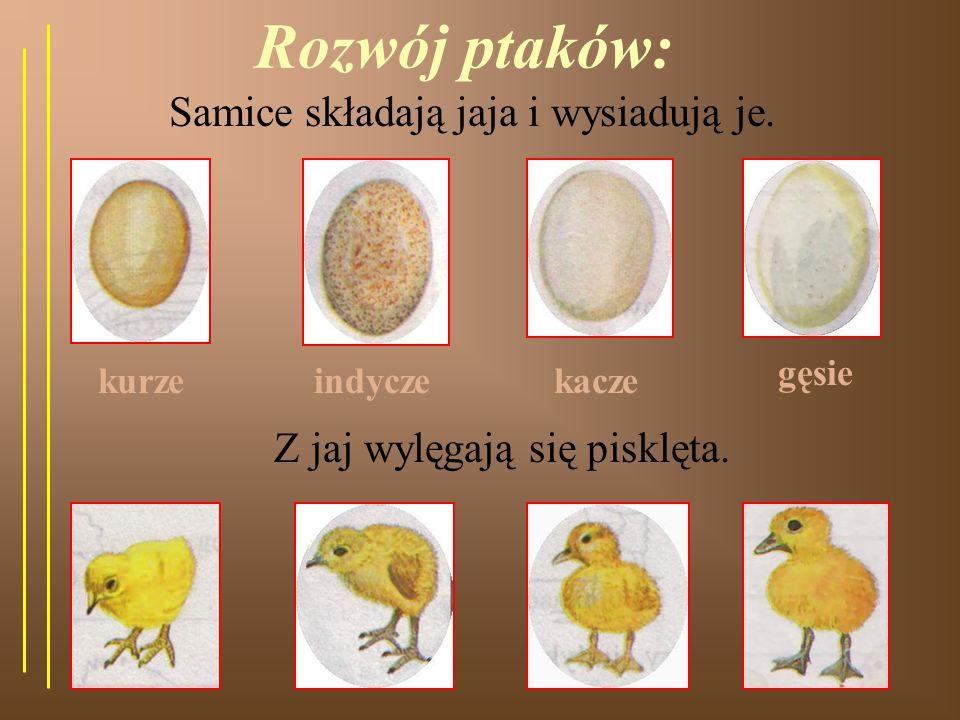 Rozwój ptaków: Samice składają jaja i wysiadują je.