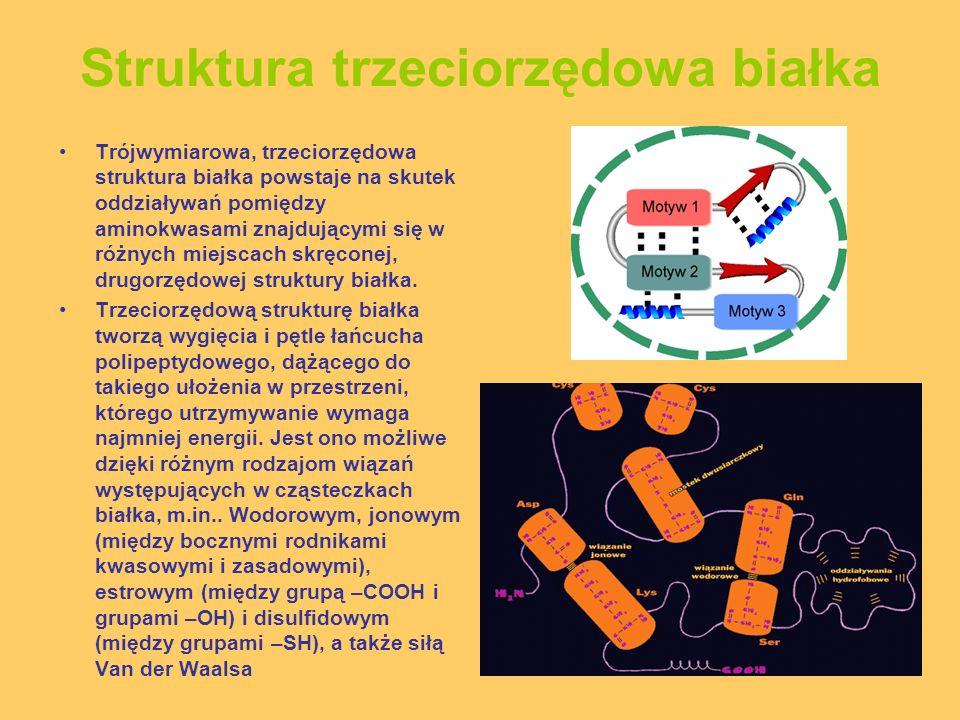 Struktura trzeciorzędowa białka Trójwymiarowa, trzeciorzędowa struktura białka powstaje na skutek oddziaływań pomiędzy aminokwasami znajdującymi się w