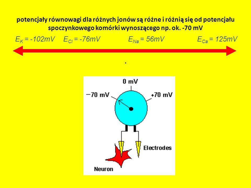 potencjały równowagi dla różnych jonów są różne i różnią się od potencjału spoczynkowego komórki wynoszącego np. ok. -70 mV. E Ca = 125mVE K = -102mVE