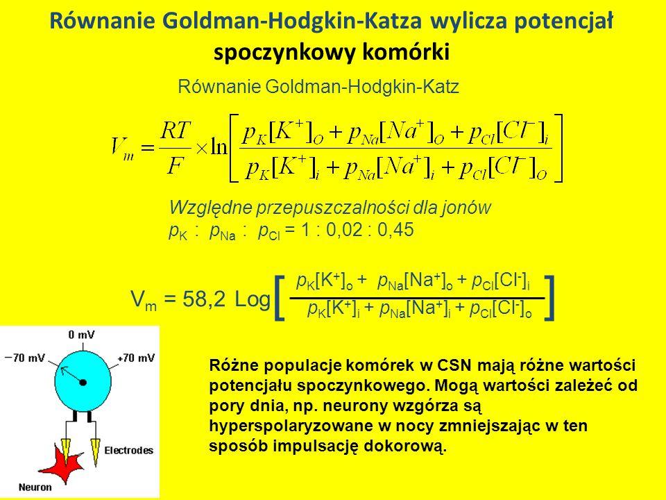Równanie Goldman-Hodgkin-Katza wylicza potencjał spoczynkowy komórki Równanie Goldman-Hodgkin-Katz Względne przepuszczalności dla jonów p K : p Na : p