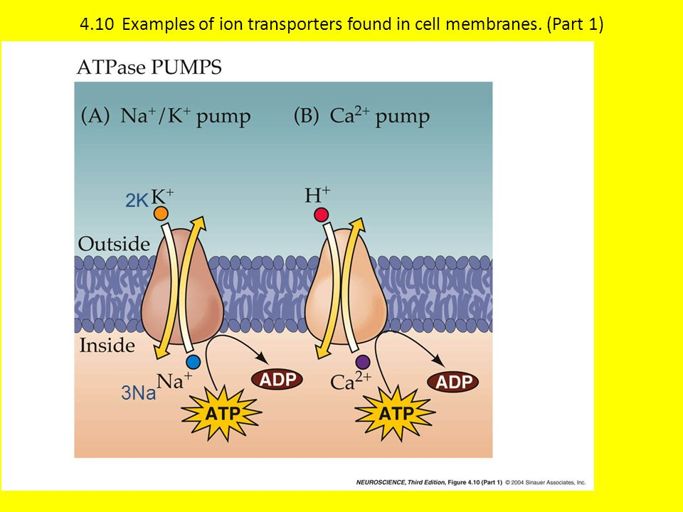 4.10 Examples of ion transporters found in cell membranes. (Part 1) 3Na