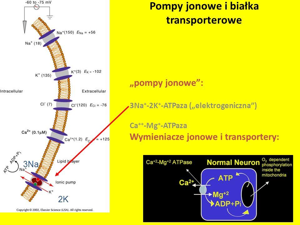 Pompy jonowe i białka transporterowe pompy jonowe: 3Na + -2K + -ATPaza (elektrogeniczna) Ca ++ -Mg + -ATPaza Wymieniacze jonowe i transportery: 3Na 2K