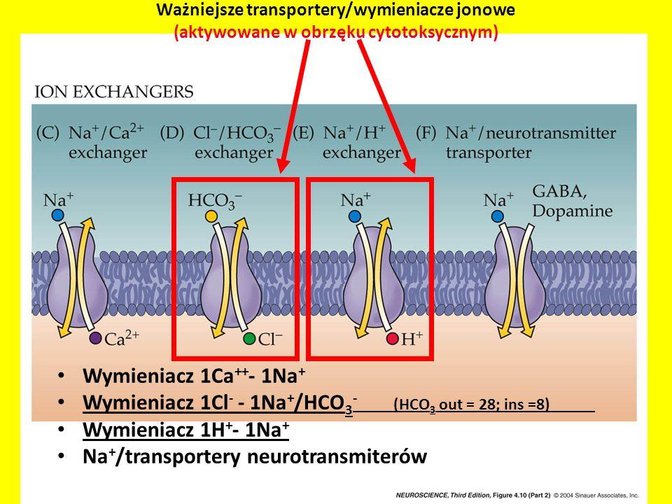 Ważniejsze transportery/wymieniacze jonowe (aktywowane w obrzęku cytotoksycznym) Wymieniacz 1Ca ++ - 1Na + Wymieniacz 1Cl - - 1Na + /HCO 3 - (HCO 3 ou