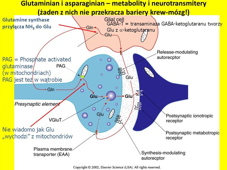 PAG = Phosphate activated glutaminase (w mitochondriach) PAG jest też w wątrobie Glutamine synthase przyłącza NH 3 do Glu GABA-T = transaminaza GABA-k