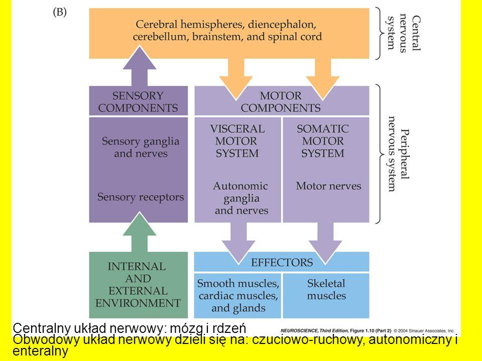 Centralny układ nerwowy: mózg i rdzeń Obwodowy układ nerwowy dzieli się na: czuciowo-ruchowy, autonomiczny i enteralny