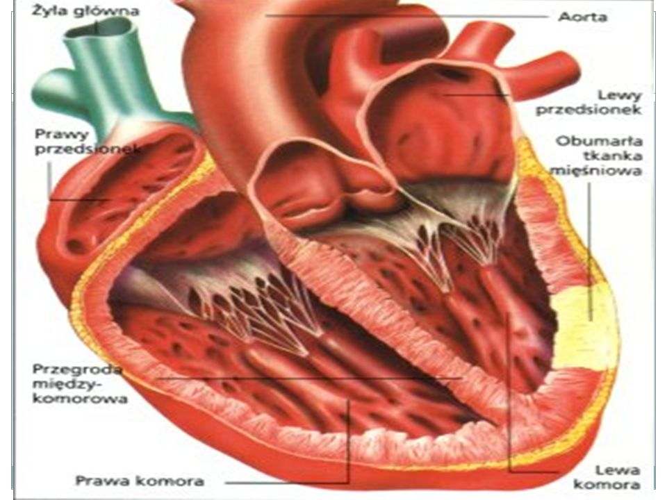 Naczynia Krwionośne Tętnice – odprowadzają krew z serca, - skurcze serca znacznie podnoszą ciśnienie krwi, dlatego tętnice mają grube, sprężyste ściany z rozbudowanymi warstwami mięśniowymi i licznymi włóknami sprężystymi Żyły - krew trafia tu z sieci naczyń włosowatych - płynie pod niewielkim ciśnieniem w stronę serca - ściany żył są cienkie, słabo zaznaczona jest warstwa mięśni gładkich, niewiele jest włókien sprężystych w warstwie zewnętrznej - w żyłach zwykle występują zastawki uniemożliwiające cofanie się krwi