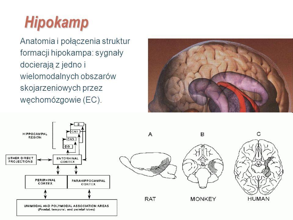 EE141 15 Hipokamp Anatomia i połączenia struktur formacji hipokampa: sygnały docierają z jedno i wielomodalnych obszarów skojarzeniowych przez węchomó