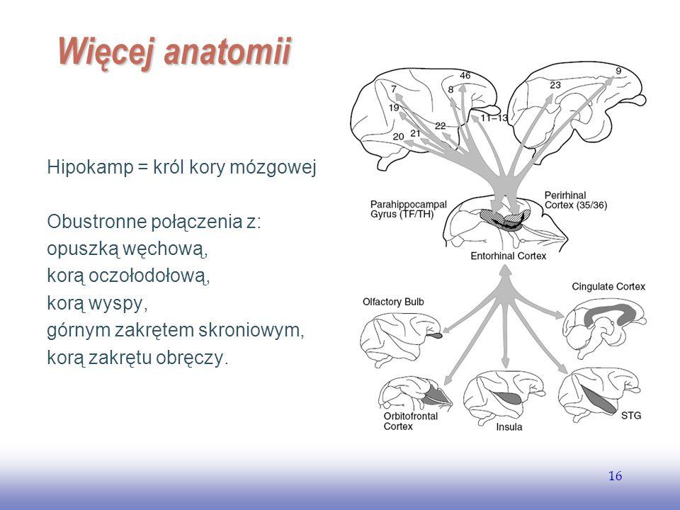 EE141 16 Więcej anatomii Hipokamp = król kory mózgowej Obustronne połączenia z: opuszką węchową, korą oczołodołową, korą wyspy, górnym zakrętem skroni