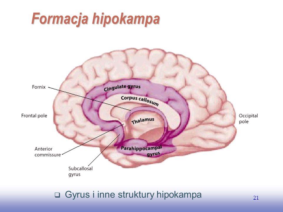 EE141 21 Gyrus i inne struktury hipokampa Formacja hipokampa