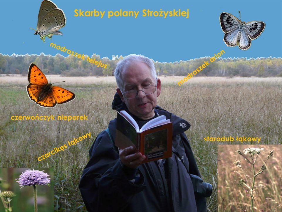 Skarby polany Strożyskiej czarcikęs łąkowy modraszek telejus modraszek arion czerwończyk nieparek starodub łąkowy