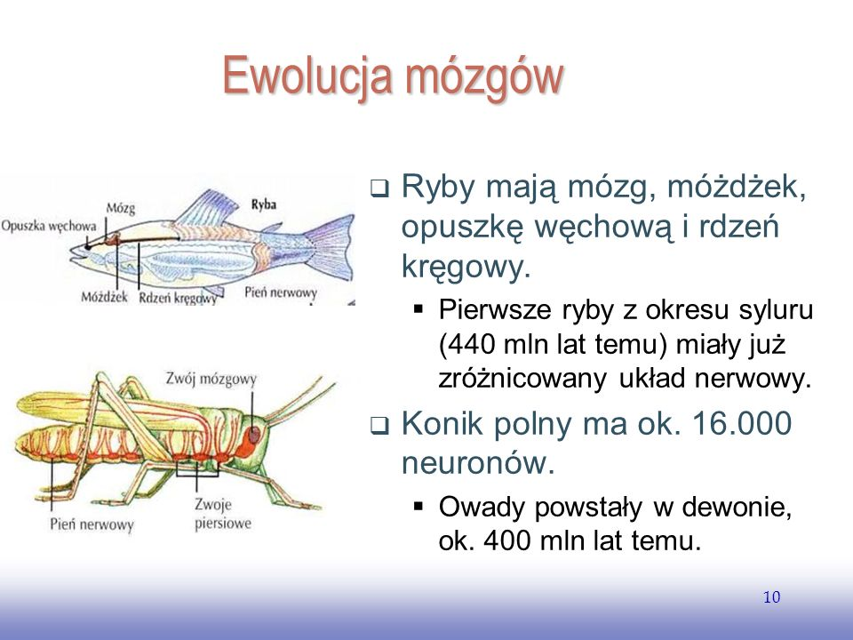 EE141 10 Ewolucja mózgów Ryby mają mózg, móżdżek, opuszkę węchową i rdzeń kręgowy.