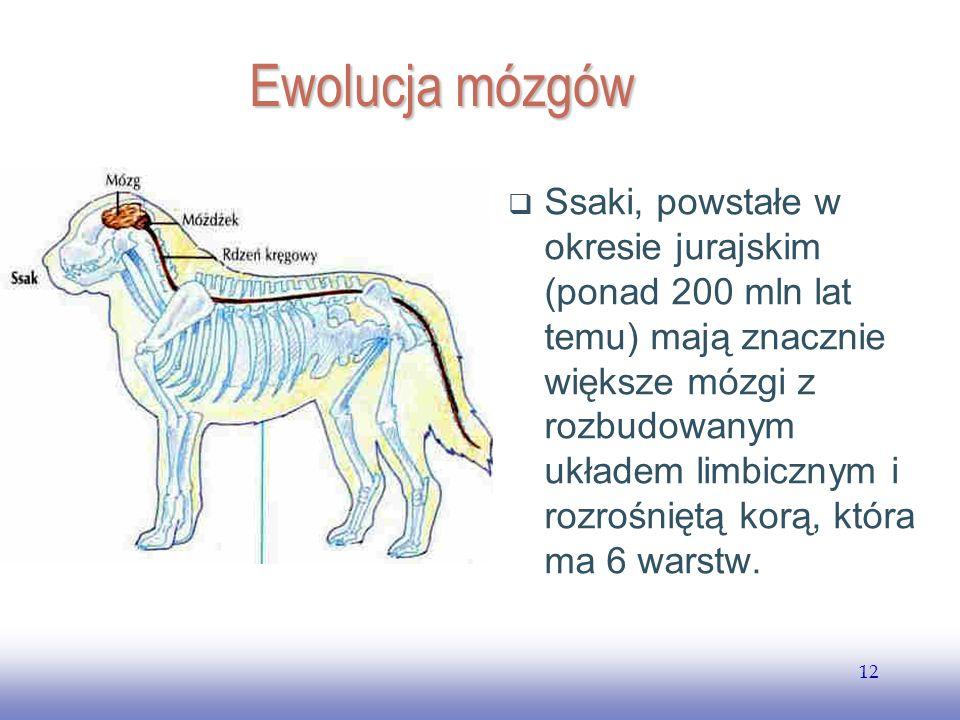 EE141 12 Ewolucja mózgów Ssaki, powstałe w okresie jurajskim (ponad 200 mln lat temu) mają znacznie większe mózgi z rozbudowanym układem limbicznym i rozrośniętą korą, która ma 6 warstw.