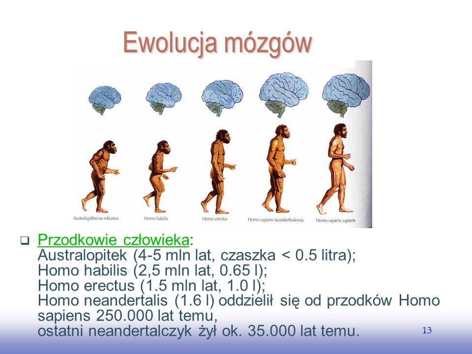 EE141 13 Ewolucja mózgów Przodkowie człowieka: Australopitek (4-5 mln lat, czaszka < 0.5 litra); Homo habilis (2,5 mln lat, 0.65 l); Homo erectus (1.5 mln lat, 1.0 l); Homo neandertalis (1.6 l) oddzielił się od przodków Homo sapiens 250.000 lat temu, ostatni neandertalczyk żył ok.