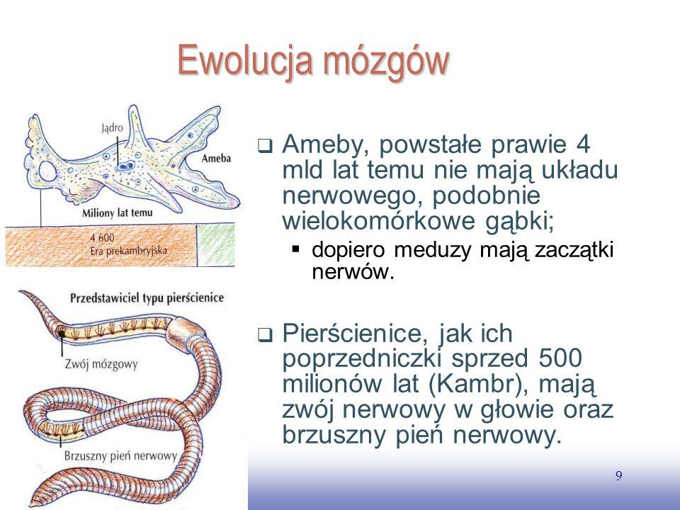 EE141 9 Ewolucja mózgów Ameby, powstałe prawie 4 mld lat temu nie mają układu nerwowego, podobnie wielokomórkowe gąbki; dopiero meduzy mają zaczątki nerwów.