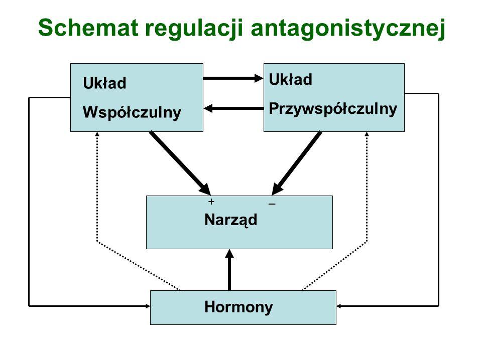 Schemat regulacji antagonistycznej Hormony Narząd Układ Współczulny Układ Przywspółczulny + _
