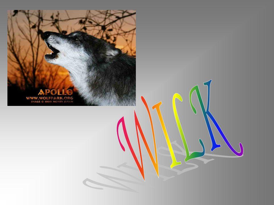 Wilk – gatunek ssaków z rodziny psowatych, rz ę du drapie ż nych.