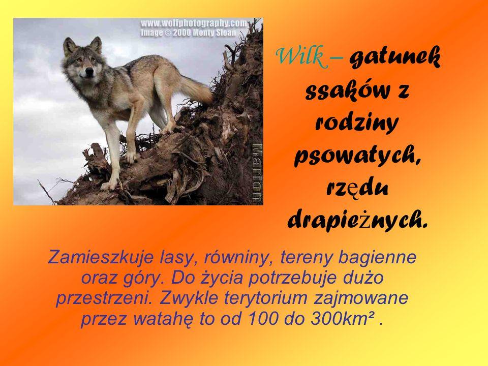 Wilk – gatunek ssaków z rodziny psowatych, rz ę du drapie ż nych. Zamieszkuje lasy, równiny, tereny bagienne oraz góry. Do życia potrzebuje dużo przes