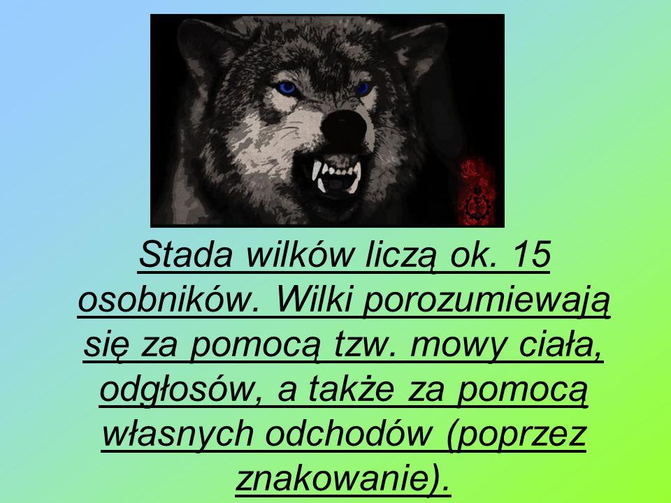 Stada wilków liczą ok. 15 osobników. Wilki porozumiewają się za pomocą tzw. mowy ciała, odgłosów, a także za pomocą własnych odchodów (poprzez znakowa