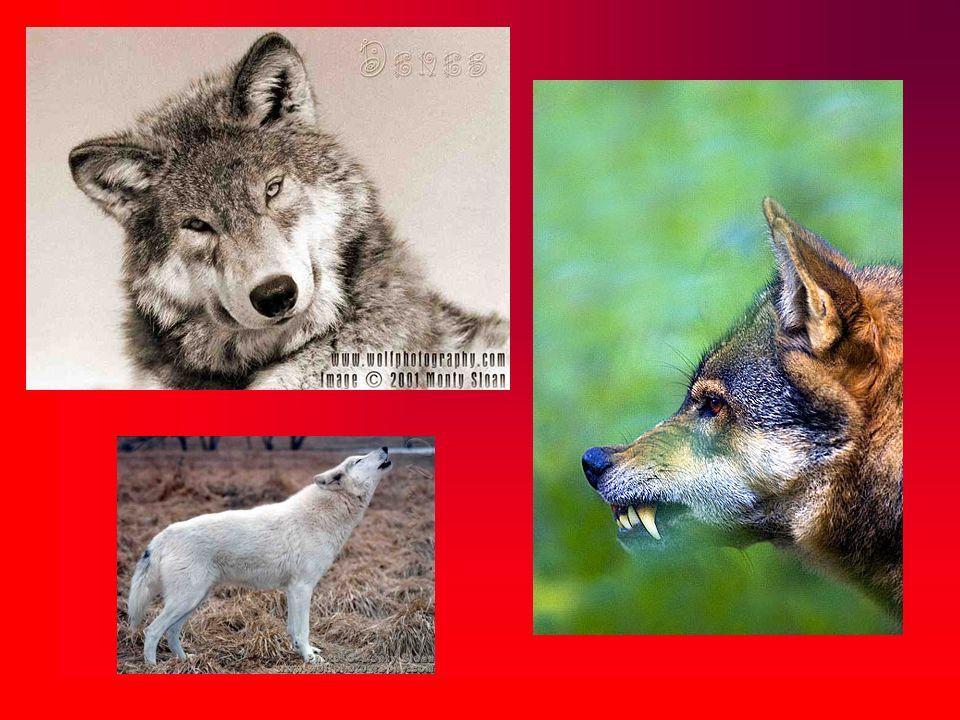 Zwierzęta te żywią się głównie średniej i dużej wielkości ssakami kopytnymi (jelenie, dziki, sarny), nie gardząc mniejszymi ssakami lub padliną.