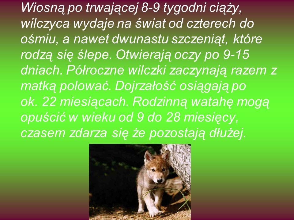 Wiosną po trwającej 8-9 tygodni ciąży, wilczyca wydaje na świat od czterech do ośmiu, a nawet dwunastu szczeniąt, które rodzą się ślepe. Otwierają ocz