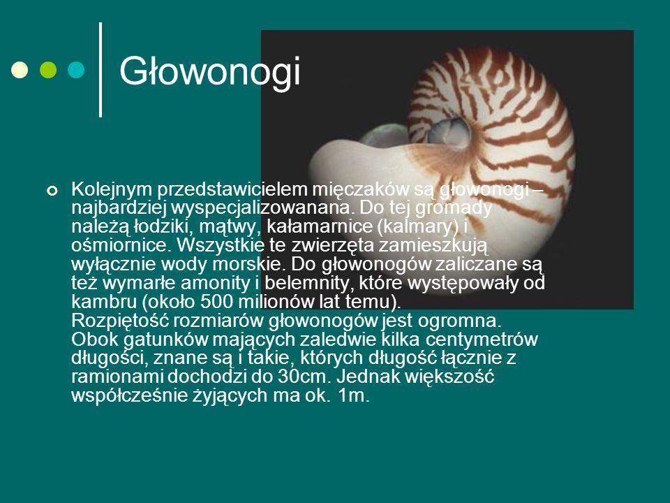 Głowonogi Kolejnym przedstawicielem mięczaków są głowonogi – najbardziej wyspecjalizowanana.