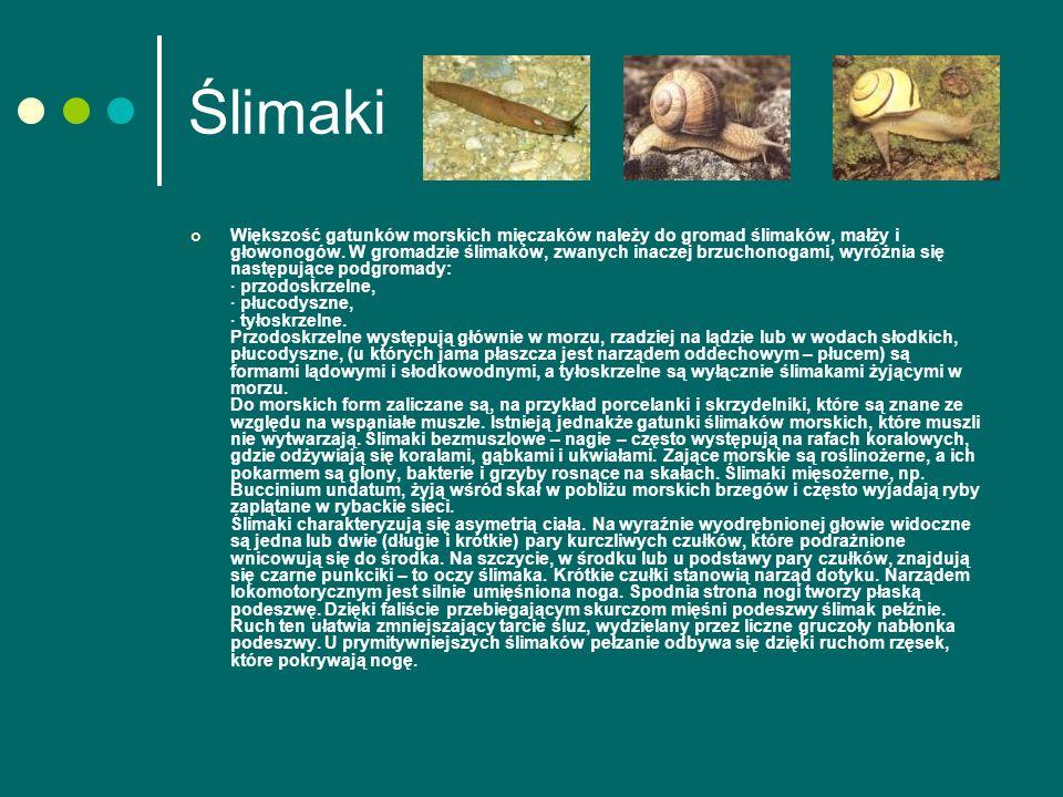 Ślimaki Większość gatunków morskich mięczaków należy do gromad ślimaków, małży i głowonogów.