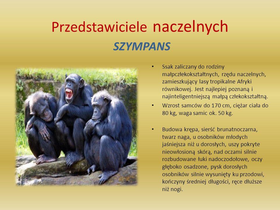 Przedstawiciele naczelnych PAWIAN C harakterystyka Wielkość: długość ciała: 50-120 cm; długość ogona: 380-600 mm; masa ciała: 15-40 kg Wygląd: pawiany