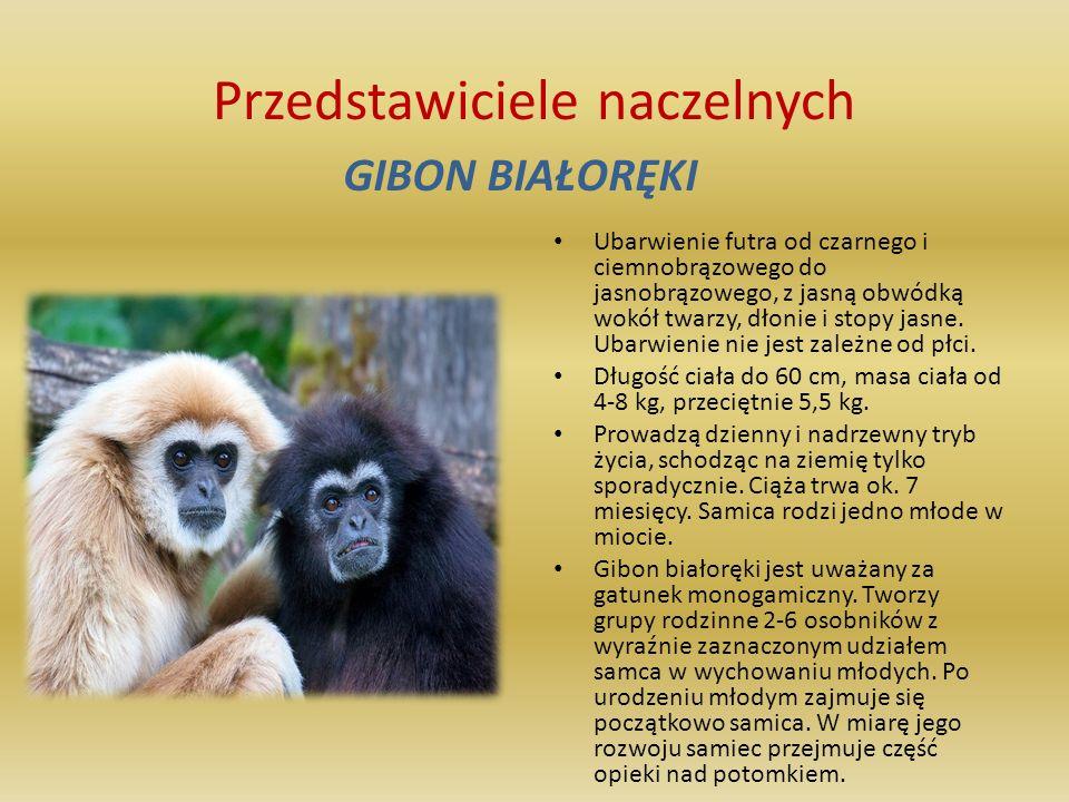 Przedstawiciele naczelnych SZYMPANS Ssak zaliczany do rodziny małpczłekokształtnych, rzędu naczelnych, zamieszkujący lasy tropikalne Afryki równikowej