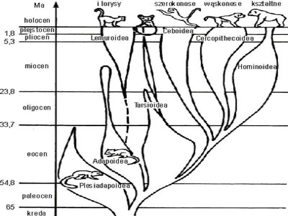Ewolucja, czyli pochodzenie naczelnych Pojawiły się w paleocenie, zamieszkując Euroazję i Amerykę Pn. Ich środowiskiem stały się korony drzew i krzewó