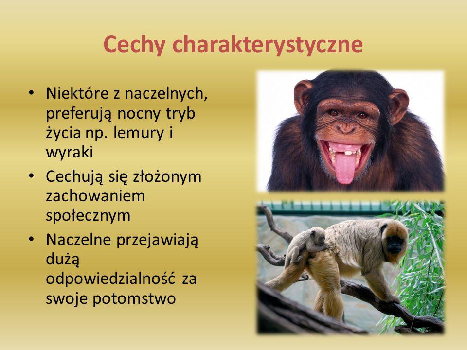 Cechy charakterystyczne W przeciwieństwie do innych ssaków, naczelne posiadają większą pojemność czaszki oraz lepiej rozwinięte półkule mózgowe Trójwymiarowe widzenie uzyskane dzięki zwróceniu obojga oczu do przodu Stereoskopowe widzenie Słaby węch