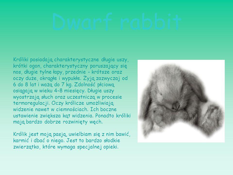 Dwarf rabbit Króliki posiadają charakterystyczne długie uszy, krótki ogon, charakterystyczny poruszający się nos, długie tylne łapy, przednie - krótsz