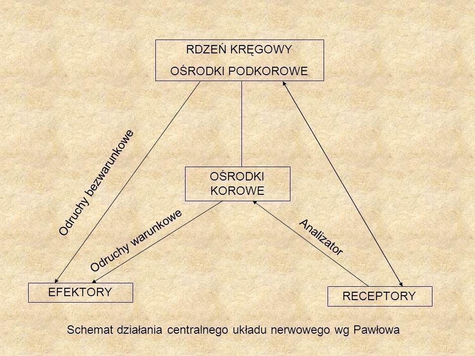 RDZEŃ KRĘGOWY OŚRODKI PODKOROWE RECEPTORY OŚRODKI KOROWE EFEKTORY Schemat działania centralnego układu nerwowego wg Pawłowa Odruchy bezwarunkowe Odruc
