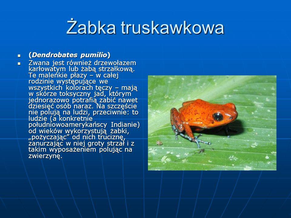 Żabka truskawkowa (Dendrobates pumilio) (Dendrobates pumilio) Zwana jest również drzewołazem karłowatym lub żabą strzałkową.