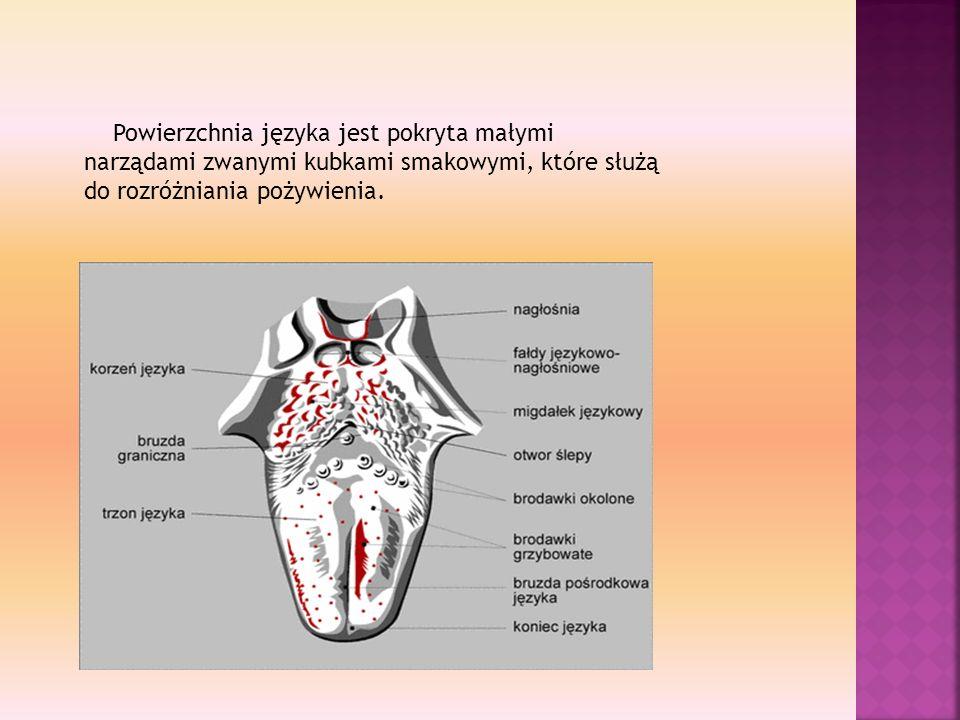 Powierzchnia języka jest pokryta małymi narządami zwanymi kubkami smakowymi, które służą do rozróżniania pożywienia.