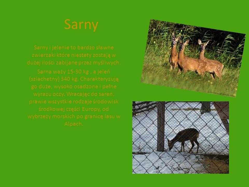 Sarny Sarny i jelenie to bardzo sławne zwierzaki które niestety zostają w dużej ilości zabijane przez myśliwych. Sarna waży 15-30 kg, a jeleń (szlache