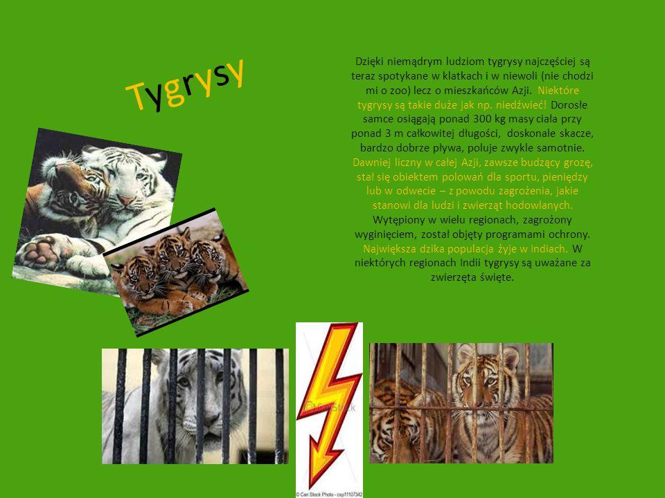 TygrysyTygrysy Dzięki niemądrym ludziom tygrysy najczęściej są teraz spotykane w klatkach i w niewoli (nie chodzi mi o zoo) lecz o mieszkańców Azji. N