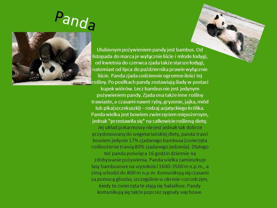 Panda Ulubionym pożywieniem pandy jest bambus. Od listopada do marca je wyłącznie liście i młode łodygi, od kwietnia do czerwca zjada także starsze ło