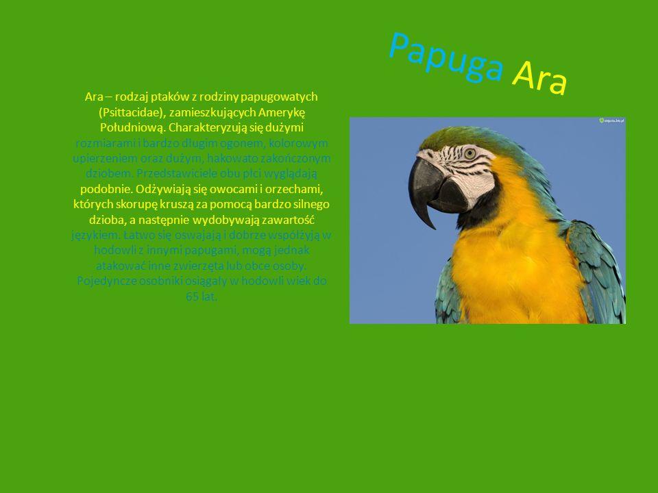Papuga Ara Ara – rodzaj ptaków z rodziny papugowatych (Psittacidae), zamieszkujących Amerykę Południową. Charakteryzują się dużymi rozmiarami i bardzo