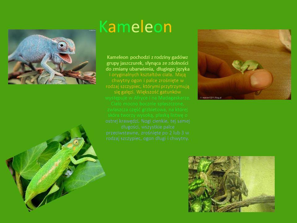 KameleonKameleon Kameleon pochodzi z rodziny gadówz grupy jaszczurek, słynąca ze zdolności do zmiany ubarwienia, długiego języka i oryginalnych kształ