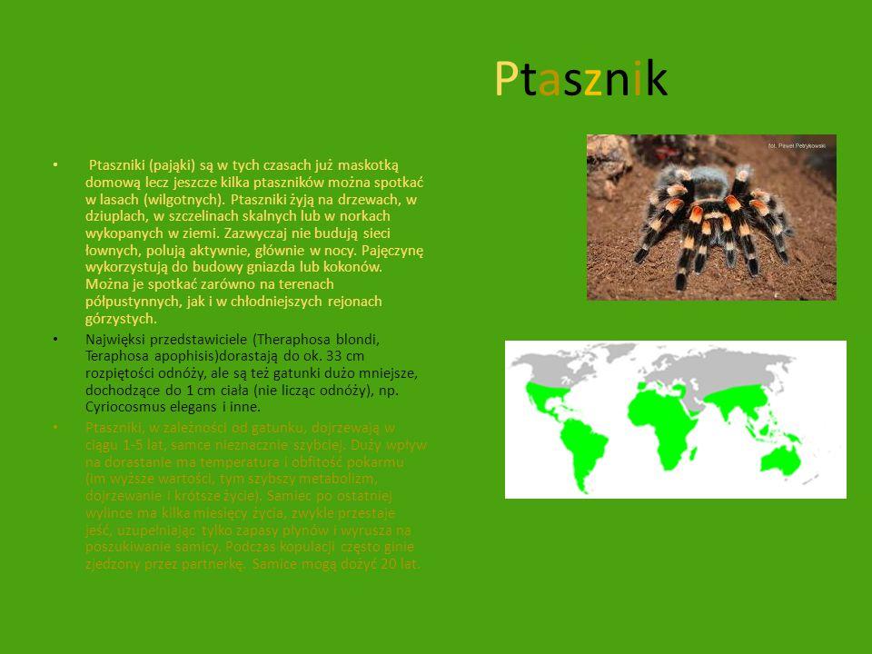 PtasznikPtasznik Ptaszniki (pająki) są w tych czasach już maskotką domową lecz jeszcze kilka ptaszników można spotkać w lasach (wilgotnych). Ptaszniki