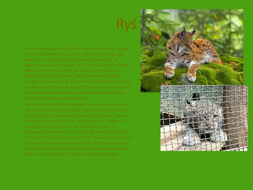 Ryś Rysie należą do gatunku kotów. Rysie charakteryzują się małymi pędzelkami na uszach. Pierwotnie zasięg rysia obejmował obszar od Pirenejów po Kamc