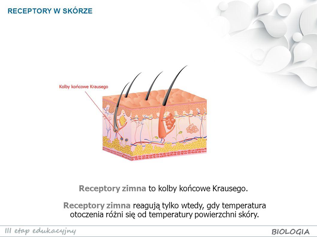 RECEPTORY W SKÓRZE Receptory zimna to kolby końcowe Krausego. Receptory zimna reagują tylko wtedy, gdy temperatura otoczenia różni się od temperatury