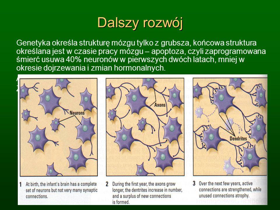 Dalszy rozwój Genetyka określa strukturę mózgu tylko z grubsza, końcowa struktura określana jest w czasie pracy mózgu – apoptoza, czyli zaprogramowana