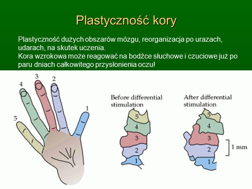 Plastyczność kory Plastyczność dużych obszarów mózgu, reorganizacja po urazach, udarach, na skutek uczenia. Kora wzrokowa może reagować na bodźce słuc